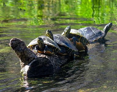 Rottenwood Creek Turtles