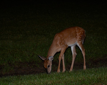 Nighttime Visitor At Stephen Foster State Park