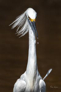 Snowy Egret w/errant feather