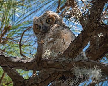 Horned Owl Owlet