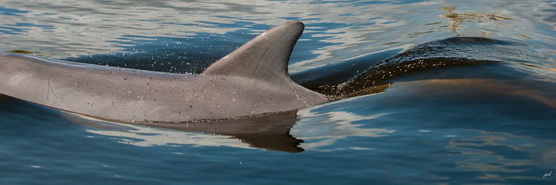 Dolphin Swish