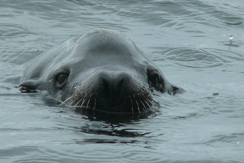 Sealion Surfaces in the Rain