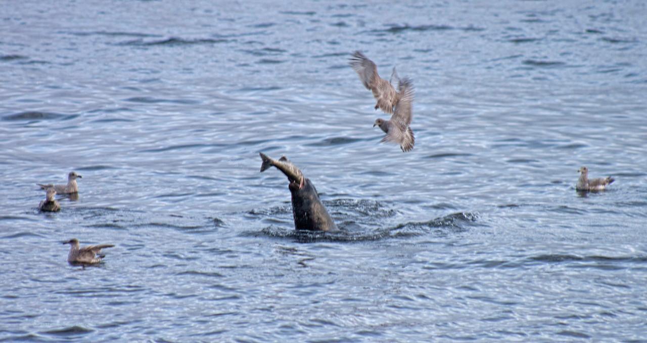 Sealion Eating Salmon w/ Seagulls