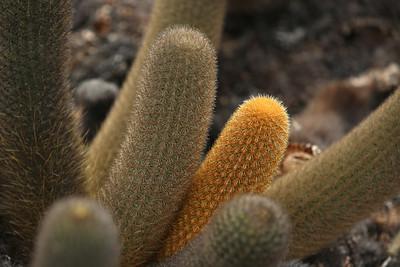 Lava Cactus, Punta Espinosa, Fernandina Island, Galápagos Islands, Ecuador