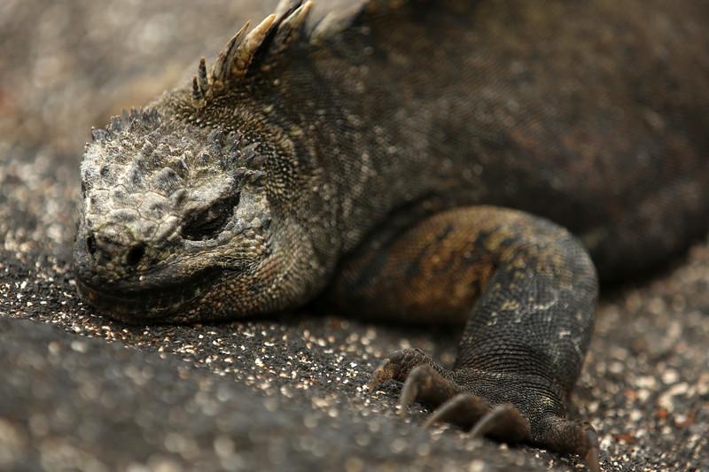 Galápagos Marine Iguana, Punta Espinosa, Fernandina Island, Galápagos Islands, Ecuador