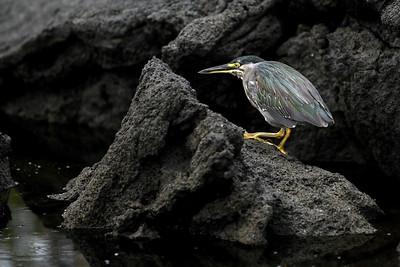 Lava Heron, Punta Espinosa, Fernandina Island, Galápagos Islands, Ecuador