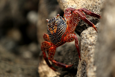 Sally Lightfoot Crab, Tagus Cove, Punta Vicente Roca, Isabela Island, Galápagos Islands, Ecuador