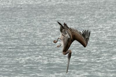 Brown Pelican, Urbina Bay, Isabela Island, Galápagos Islands, Ecuador
