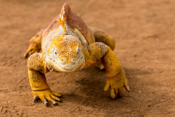 Galápagos Land Iguana, Dragon Hill, Las Bachas, Santa Cruz Island, Galápagos Islands, Ecuador