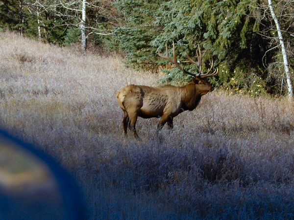 Elk, west of Jasper
