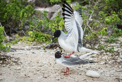Swallow Tail Gulls mating