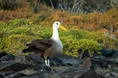 Galapagos Albatross (wingspan 7.9 ft)