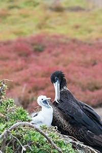 Magnificent Frigatebird and chick