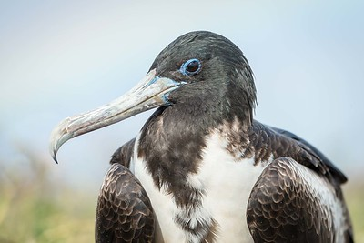 Magnificent Frigate Bird, adult female.