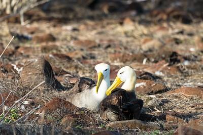 Albatros mating