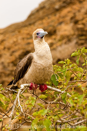 Red Footed Booby.  These differ from their Blue Footed cousins in that their feet have an opposable claw that can grip branches.  They build their nests in trees while the Blues nest on the ground.