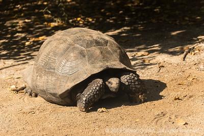 Iconic Galapagos tortoise