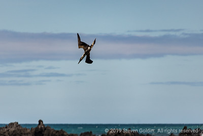 Red Footed Booby diving for dinner.