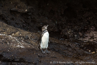 Galapagos penguin. Another unique species.
