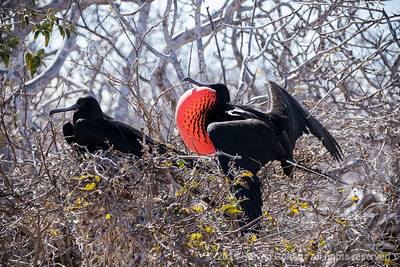 Male Frigate bird with its pouch inflated to impress the females
