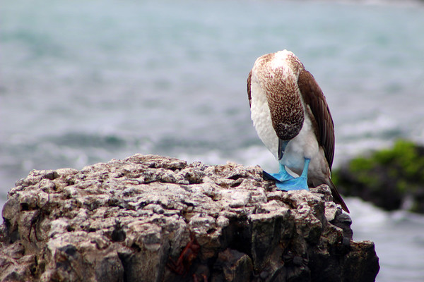 Blue -Footed Booby