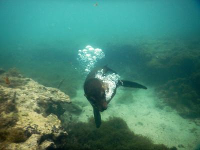 Sea Lion - Swimming