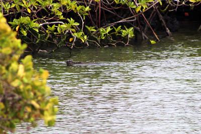 Marine Iguana - Swimming