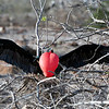 Male Magnificent Frigate Bird (Fregata magnificens).   Males have a red gular pouch that is inflated during the breeding season to attract a mate.  North Seymor Island, Galapagos Islands, Ecuador.