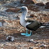 "Blue-footed Booby (Sula nebouxii), one of six species of boobies.  The name ""booby"" comes from the Spanish word bobo ('stupid', 'fool', or 'clown') because the Blue-footed Booby is  clumsy on land and appear foolish to humans.  North Seymor Island, Galápagos Islands, Ecuador."
