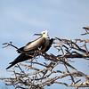 Juvenile Frigate Bird.  Seymor Island, Galápagos Islands, Ecuador.