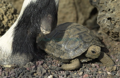 Feral goat and hatchling tortoise