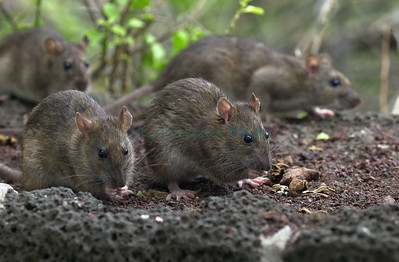 Feral rats around Galapagos town