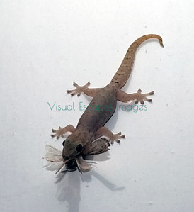 Introduced gecko on Santa Cruz, Galapagos