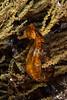 Pacific seahorse, Hippocampus ingens<br /> The wall, Punta Vicente Roca, Isabela Island, Galápagos, Ecuador