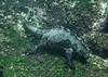 Marine iguana, Amblyrhynchus cristatus<br /> Cabo Douglas, Fernandina Island, the Galápagos, Ecuador