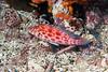 Coral hawkfish<br /> Cousin's Rock, Galapagos Islands, Ecuador