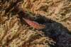 Longnosed hawkfish, Oxycirrhites typus<br /> The wall, Punta Vicente Roca, Isabela Island, Galápagos, Ecuador