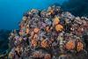 Orange cup coral, Tubastraea coccinea<br /> Cabo Marshall, Isabela Island, the Galápagos, Ecuador