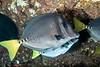 Razor surgeonfish, Prionurus laticlavius<br /> Cousin's Rock, Galápagos Islands, Ecuador
