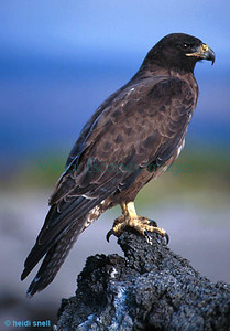 Galapagos Hawk on Fernandina 1998