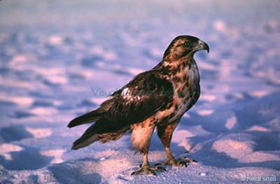 Galapagos hawk juvenile