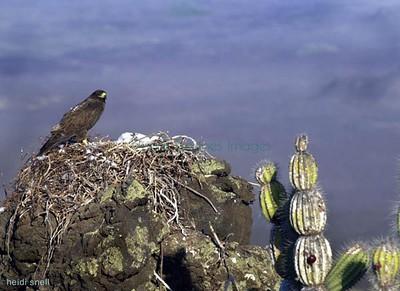Galapagos hawk nest, Fernandina   Galapagos photos