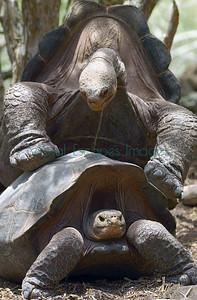 33853_Galapagos tortoises on Isla Pinzon
