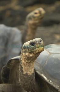 6649 Darwin Station tortoises