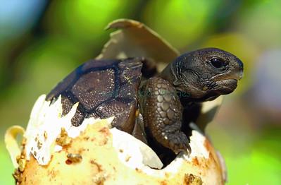hatching Galapagos tortoise