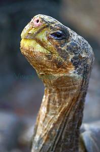 23584_Galapagos tortoise