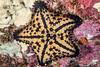 Chocolate chip sea star,  Nidorellia armata<br /> Cousin's Rock, the Galápagos Islands, Ecuador