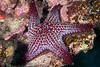 Panamic cushion sea star, Pentaceraster cumingi<br /> Cousin's Rock, the Galápagos Islands, Ecuador