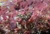 Navanax aenigmaticus<br /> Fernandina, Cabo Douglas, the Galápagos, Ecuador