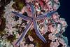 Blue sea star, tan sea star, Phataria unifascialis<br /> Cousin's Rock, the Galápagos Islands, Ecuador